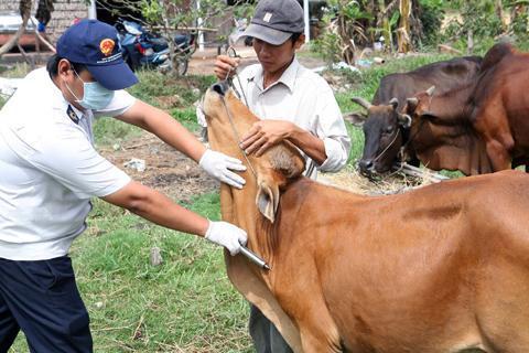 Cách giúp bò không chết vì quá lạnh hiệu quả nhất