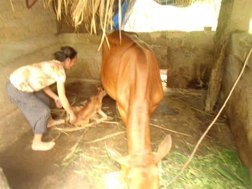 Bổ Sung Khoáng Chất Phòng Ngừa Bại Liệt Cho Bò Trước Sinh Sản