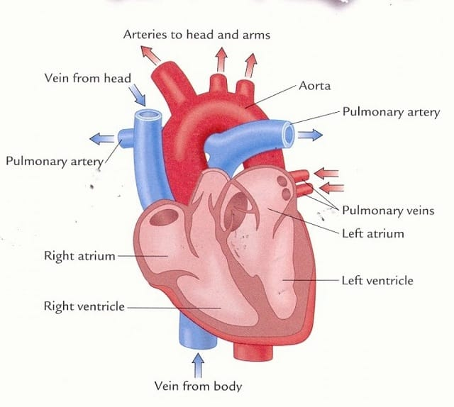 tác dụng của Hạt chia rất tốt cho hệ tim mạch