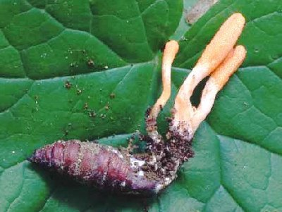 The mistakes and myths of cordyceps with health
